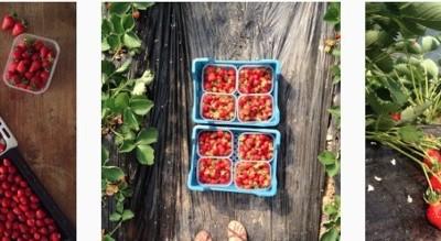 aardbeien-plukken-zelfoogstboerderij