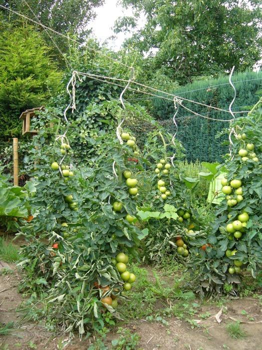 moestuin-2011-tomaten