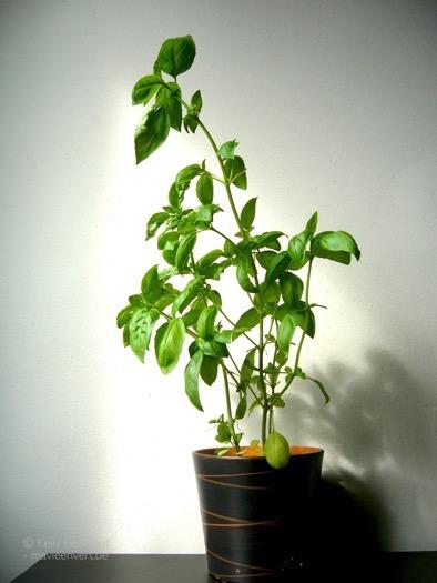 basilicum-plant