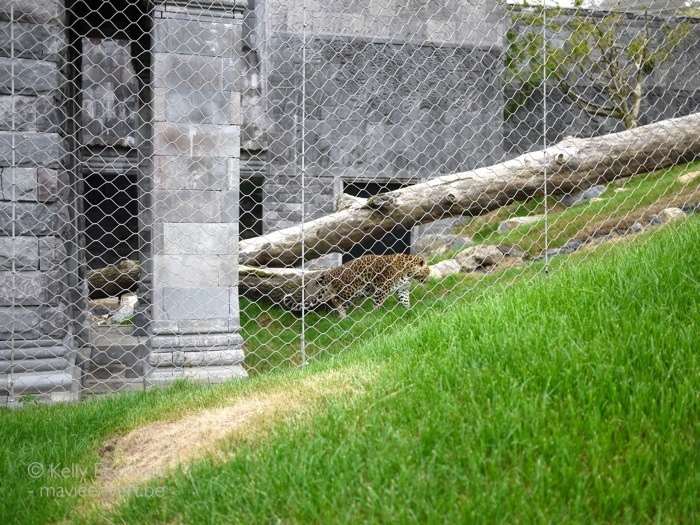 pairi-daiza-luipaard